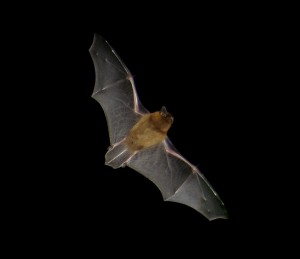 Pipistrellus_flight2